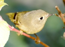 Ruby Crowned Kinglet Hubert J Steed
