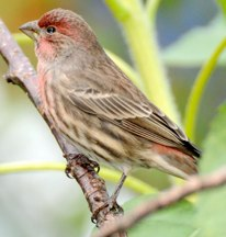 House Finch Hubert J Steed