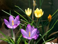 Crocuses Hubert J Steed