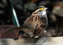 White Throated Sparrow Hubert J Steed