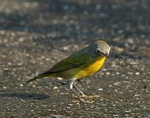 Nashville Warbler Joe O'Connell