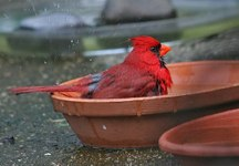 Cardinal Splashing Joe O'Connell