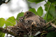 Mourning Dove Nest Hubert J Steed