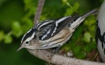 Black and White Warbler Joe O'Connell