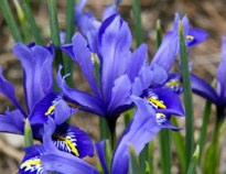 Dutch Iris Hubert J Steed