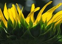 Sunflower Hubert J Steed