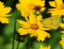 Sulphur Butterfly on Coreopsis Lanceolata or Tickseed Blossom Hubert J Steed