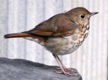 Hermit Thrush Hubert J Steed