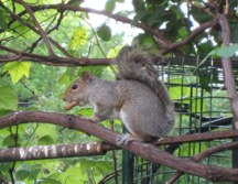 Squirrel with Peanut Janice Pargh