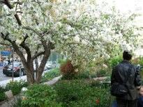 Flowering Apple Tree Janice Pargh