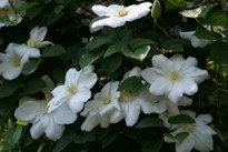 Clematis Madame Le Coultre Joe O'Connell