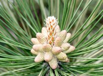 Pine Cone Forming Hubert J Steed