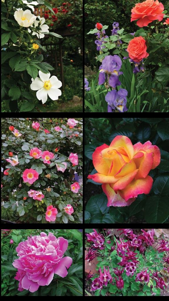 roses et al