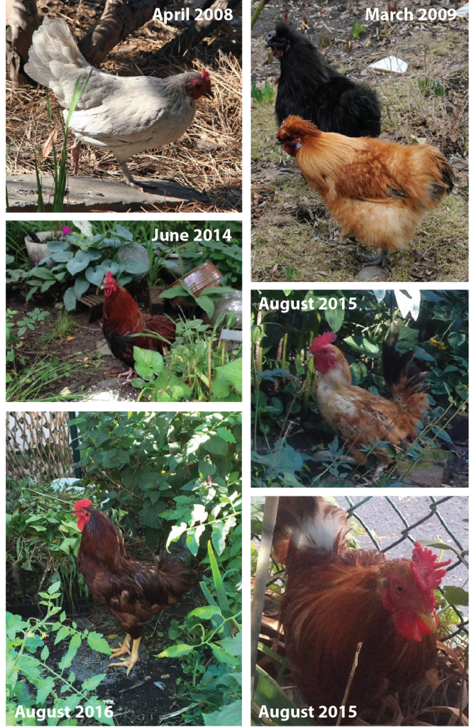 rooster_gallery