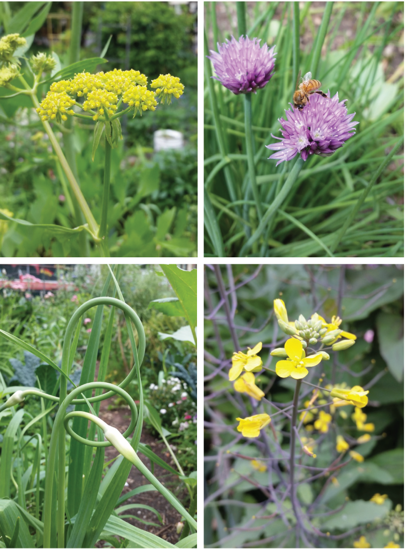 Herbs and veggies flower too laguardia corner garden from top left the yellow flowers of lovage chive flowers are pretty enough for a bouquet bees love them too kale flowers have also been a great nectar mightylinksfo